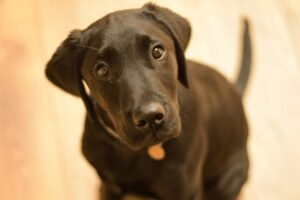 A black labrador puppy looking up at the camera with his head tilted to the side - Ryan Hughes Photography Pet Photography in Bedfordshire, Hertfordshire, and Cambridgeshire
